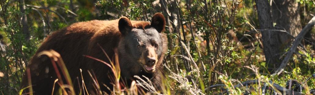 Brauner Schwarzbär im Yukon