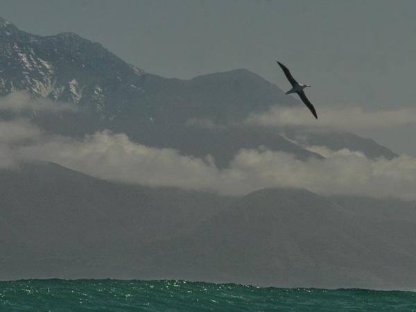 Albatros über dem Meer