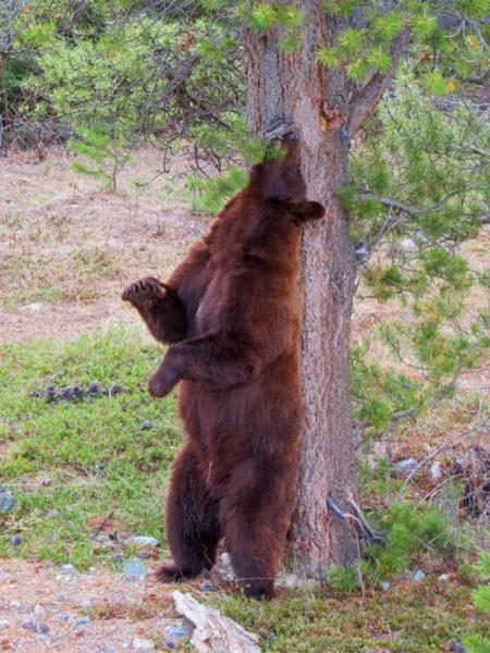 Schwarzbär an einem Kratzbaum