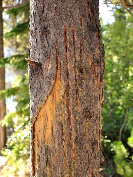 Bären Kratzspuren an einem Baum