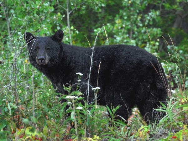 Schwarzbär im Yukon