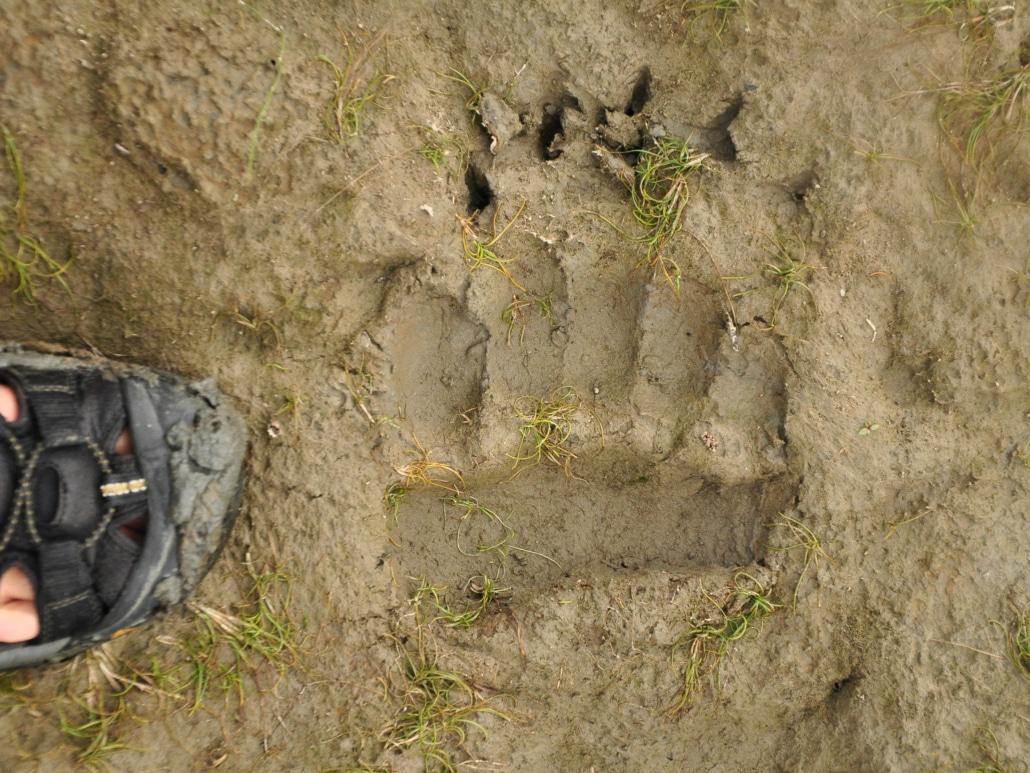 Grizzly Spur von Vorderfuß