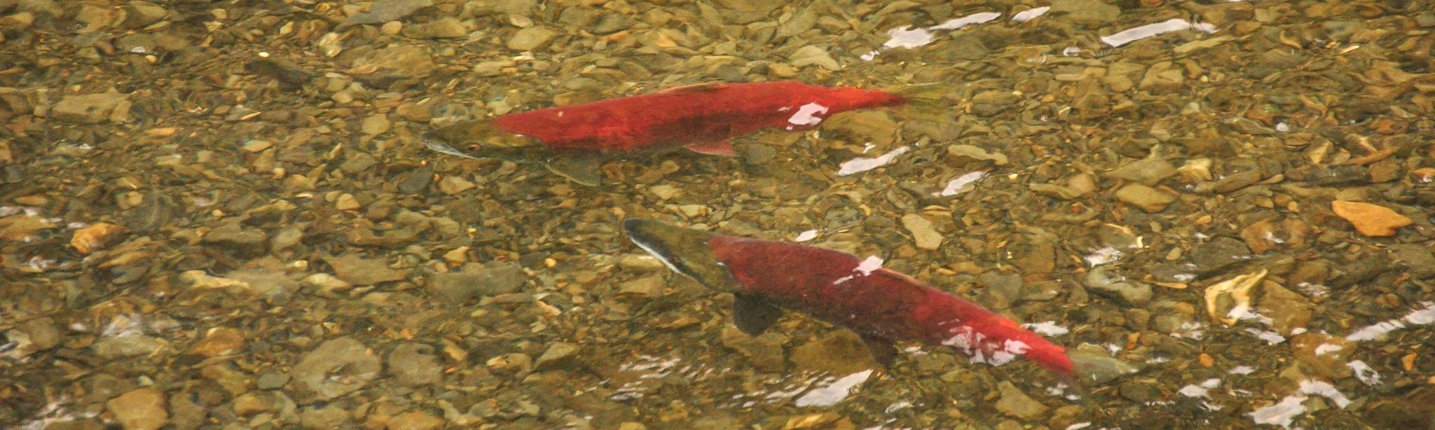 Lachswanderung im Yukon