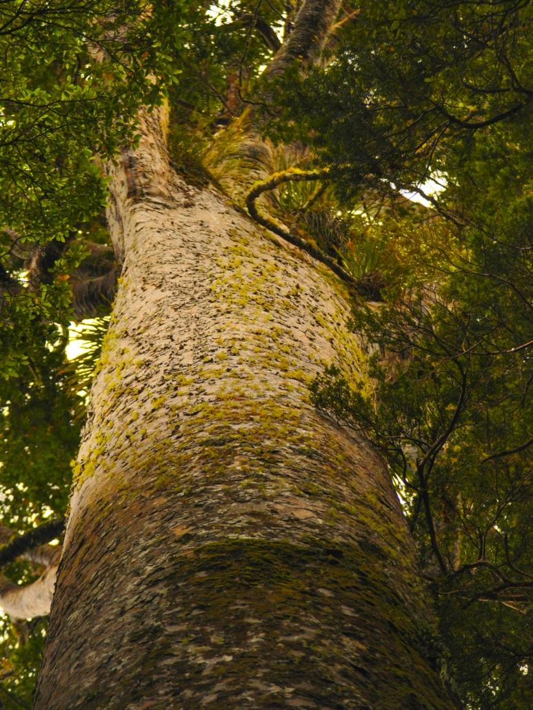 Kauribaum in Neuseeland