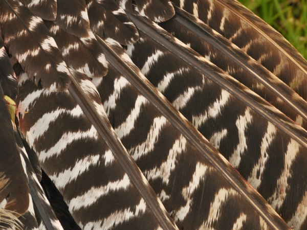 Die schöne Flügelzeichnung eines Truthahns