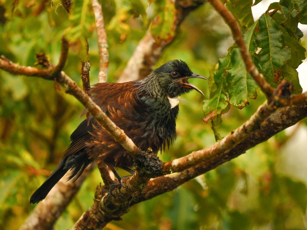 Singender Tui in Neuseeland