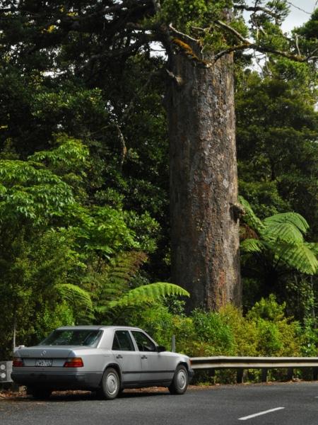 Auf nach Neuseeland: tropischer Dschungel und dicke Kauribäume