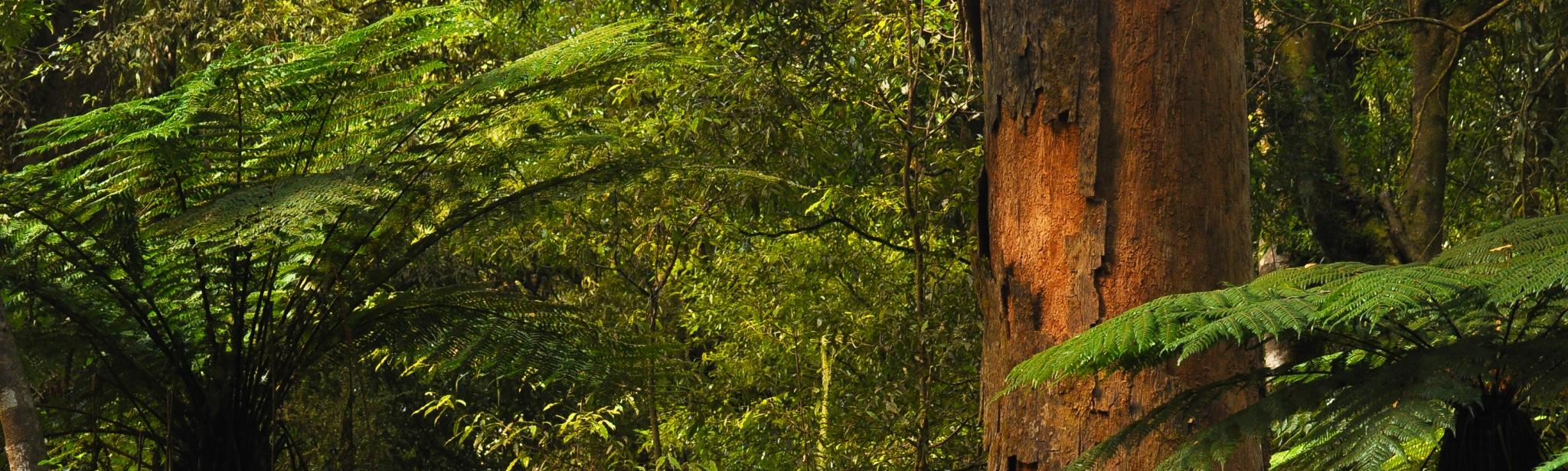 Neuseeland Dschungel mit Kauri Baum