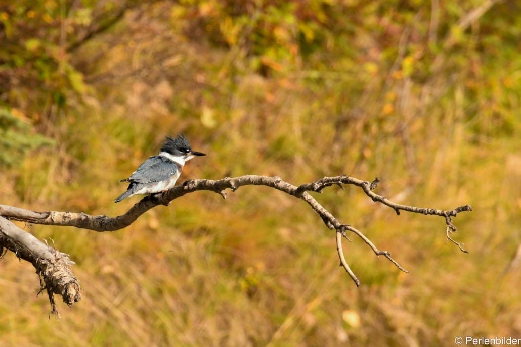 Kingfisher-Eisvogel am Nisutlin River