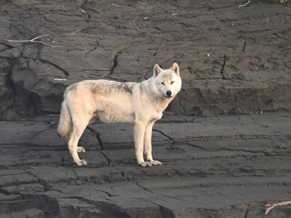 Wolf im Yukon